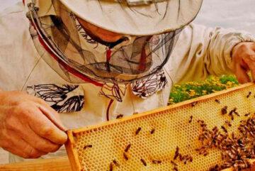 Областные парламентарии на 57-ой сессии Законодательного Собрания приняли решение об отмене регионального закона «О пчеловодстве». Это сделано, поскольку соответствующий документ в 2020 году принят на уровне страны. И теперь пчеловодство в Вологодской области будет регулироваться именно федеральными нормами. «Это очень качественный закон. Он решает множество задач. И это не случайность – федеральные власти провели консультации не только с региональными властями, но и самими пчеловодами. В результате только от Вологодской области подготовлено четыре листа предложений, которые мы передали в профильный комитет Госдумы, - рассказал председатель комитета по аграрному комплексу и продовольствию Владимир Буланов. - При этом в законе была учтена и судебная практика. А ее накопилось достаточно, ведь отношения между пчеловодами и гражданами непростые». По словам парламентария, благодаря федеральному закону, появились конкретные нормы, которые решают проблемы отрасли пчеловодства. Это, к примеру, нормы о том, что ульи должны располагаться не ближе трех метров до границы соседского участка, или без учета расстояния, но при наличии сплошного забора или кустарника высотой не менее двух метров. Кроме того, если пасека располагается в границах населенного пункта, то на 100 квадратных метрах не должно быть больше двух ульев. Также, ветеринарными правилами содержания медоносных пчел установлено, что в населенных пунктах можно будет содержать только миролюбивых насекомых – башкирскую, карпатскую, среднерусскую породы. Это позволит защитить людей от пчел. Федеральные власти передали на региональный уровень полномочия по оформлению ветеринарно-санитарных паспортов пасек. Ветеринарно-санитарные правила содержания пчел и пасек также закреплены на федеральном уровне. Именно поэтому областной закон стал излишним, сообщает пресс-служба Законодательного Собрания Вологодской области.