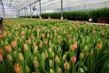 В тепличном комплексе «Тоншаловский» под Череповцом вырастили 300 тысяч тюльпанов