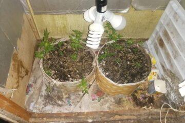 Житель Вологодского района выращивал дома коноплю